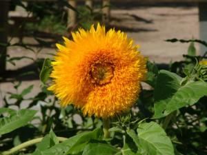 1__Sonnenblume